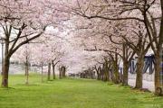 你知道吗?万州也有一个樱花主题公园